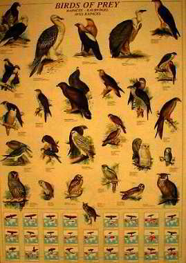 Rapaces - Raubvogel - Aves Rapaces. Latin - English -German  Posters