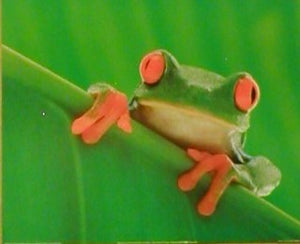 Red-Eyed Tree Frog Posters