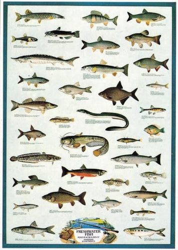 Catfish, Owan, Eel, Gudgeon, Burbot, Carp, Bleak, Barbel, Shad, Bream, Stickleback, Minnow, Rudd, Tench, Chub, Blenny, Nase, Salmon, Trout, Sturgeon, Pike, Perch. Posters