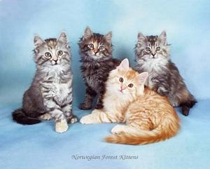 Norwegian Forest Kittens Posters