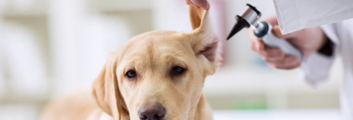 Can CBD Help With Dog Ear Inflammation & Infections? | Curaleaf Hemp