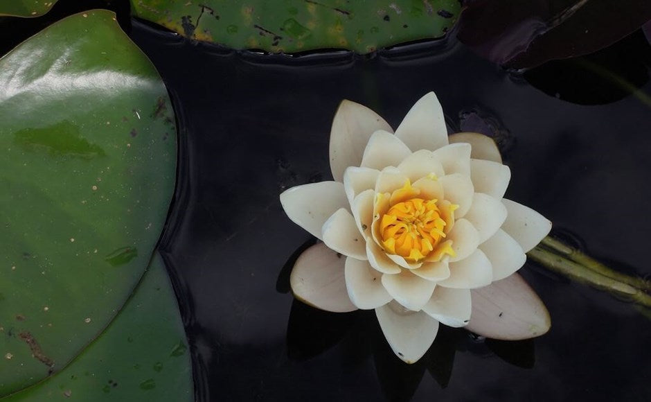 No Mud, No Lotus . . . The Symbolism of the Lotus Flower