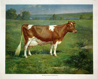1900 Vintage Guernsey Cow Antique Advertising Poster Print