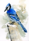Blue Jay Original Watercolor Painting