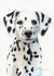 Dalmatian Puppy Original Watercolor Painting