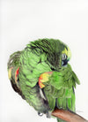 Sleeping Amazon Parrot Original Watercolor Painting
