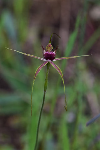 Native Australian Spider Orchid