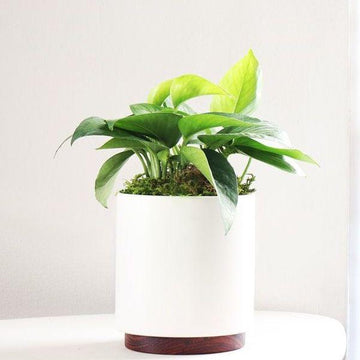 Jade Pothos in White Pot