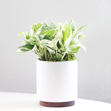 N'Joy Pothos in White Pot