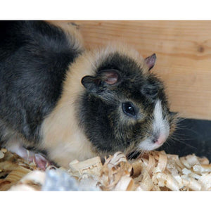 Purepine Wood Shavings for Guinea Pigs