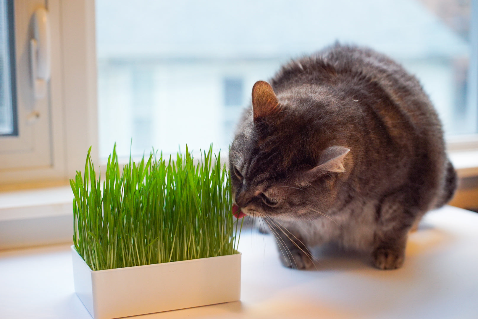What is Cat Grass and How Does It Benefit Your Feline Friends?