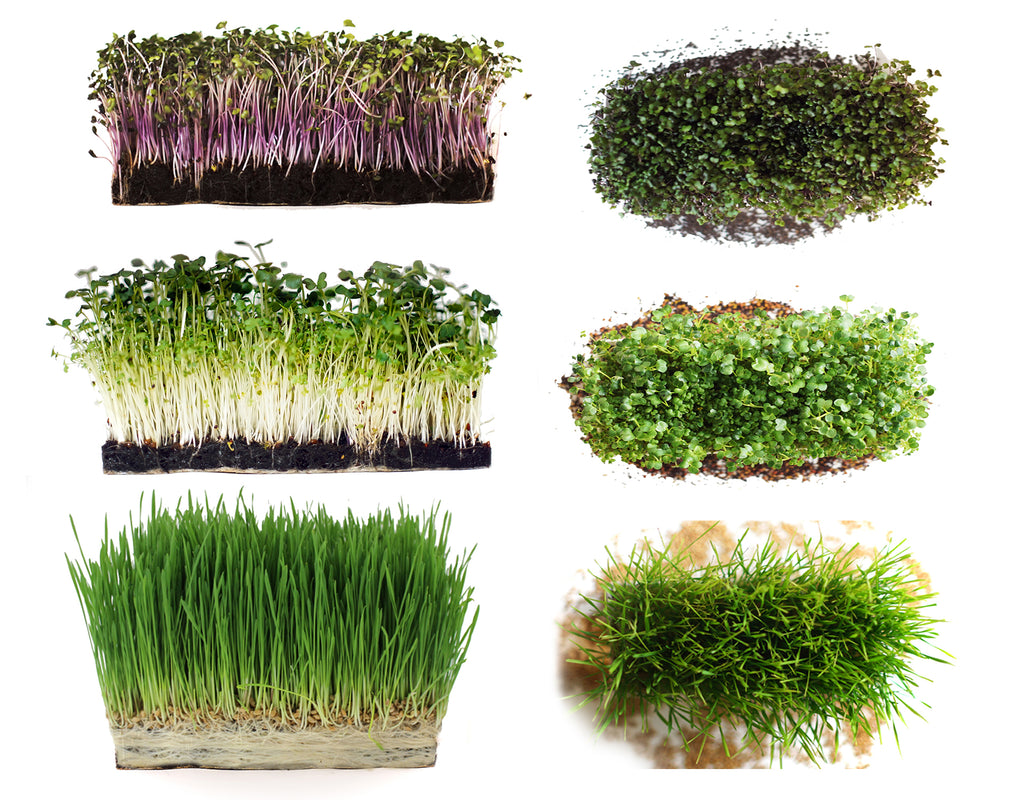 Microgreens Starter Kit 3-Pack - Broccoli Brassica, Red Cabbage & Wheatgrass - Urban Minimalist