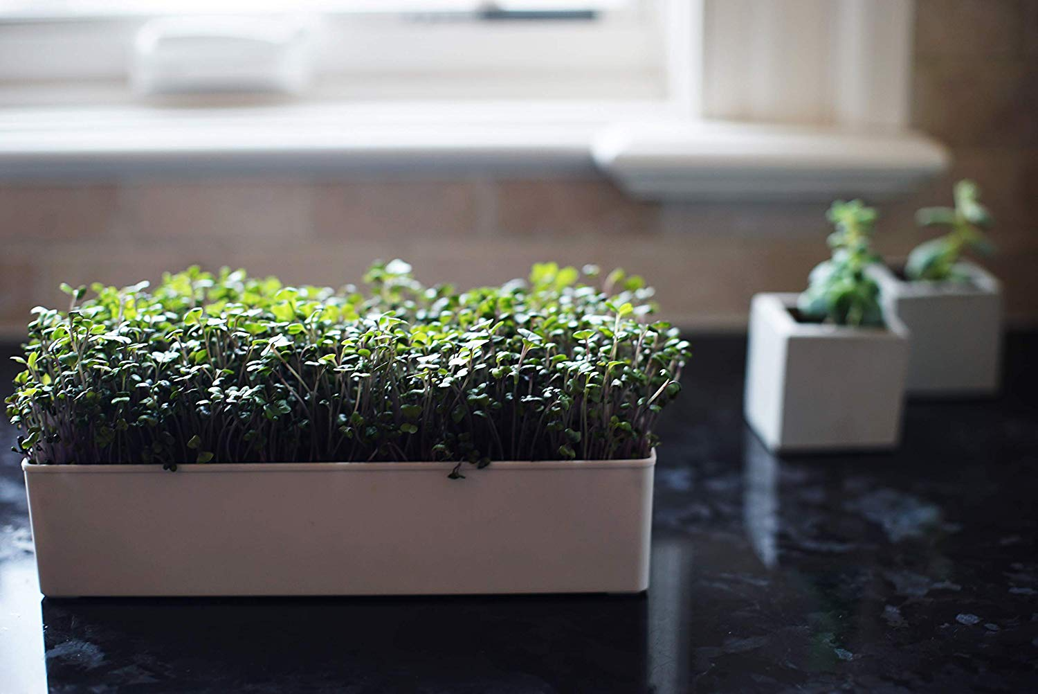 Grow Your Own Red Cabbage Microgreens Kit - Urban Minimalist