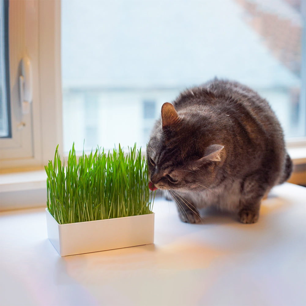 Grow Your Own Cat Grass Kit - Urban Minimalist