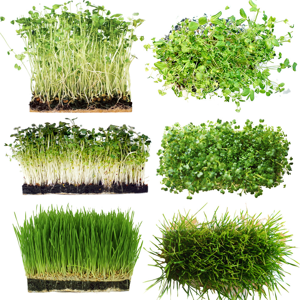 Microgreens Starter Kit 3-Pack - Broccoli Brassica, Microgreen Salad Mix & Wheatgrass - Urban Minimalist