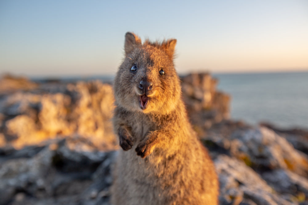 How to Stay Happy During Covid-19 from the Quokkas - Happiest Animal on Earth Approved