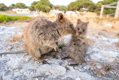 baby quokka being kissed by momma quokka