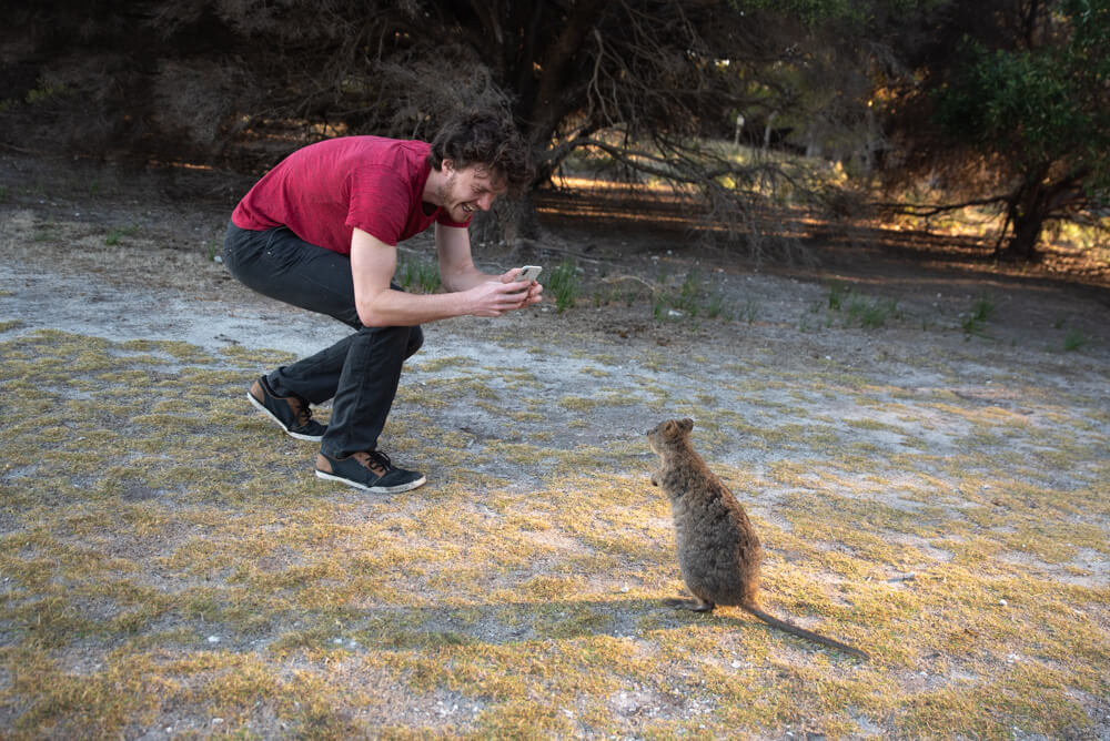 curious quokka - approaching for a quokka selfie