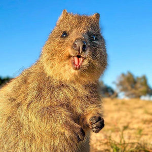 quokka smiling because we give back to the environment
