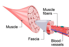 What is fascia? diagram