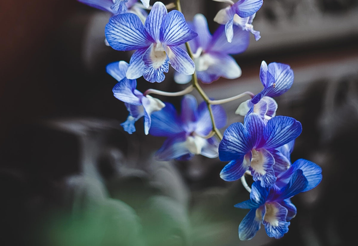 The secret of the blue Orchid