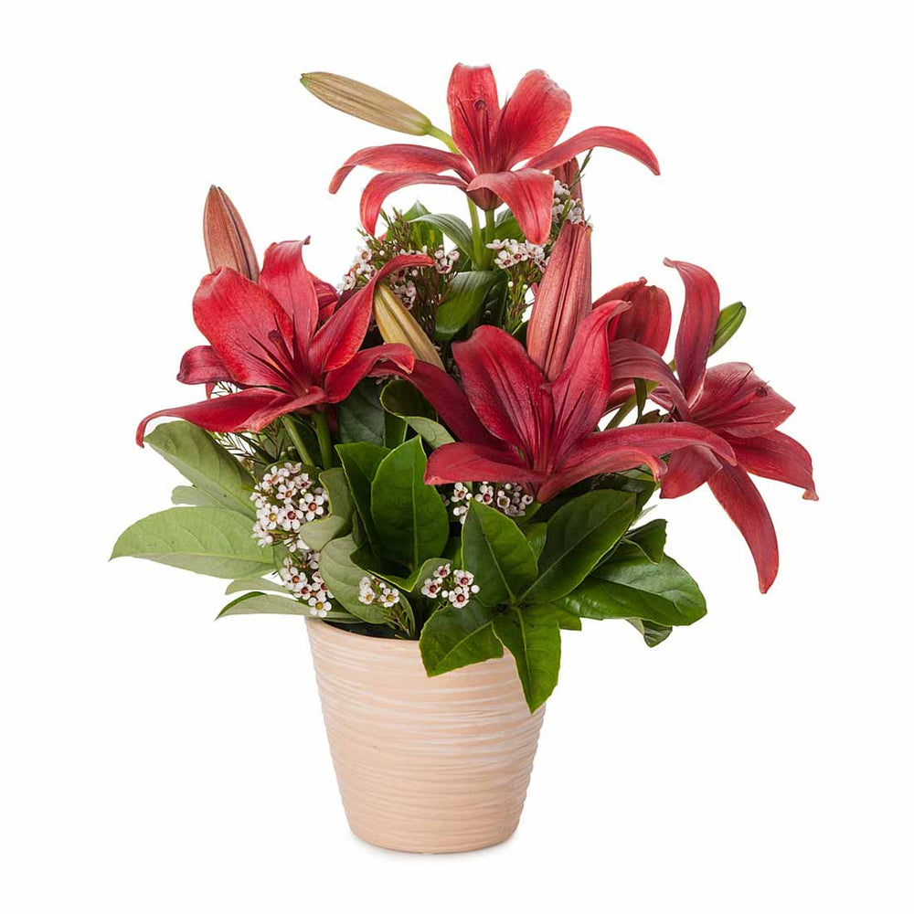 Cute Red Lily Pot - Click For Flowers