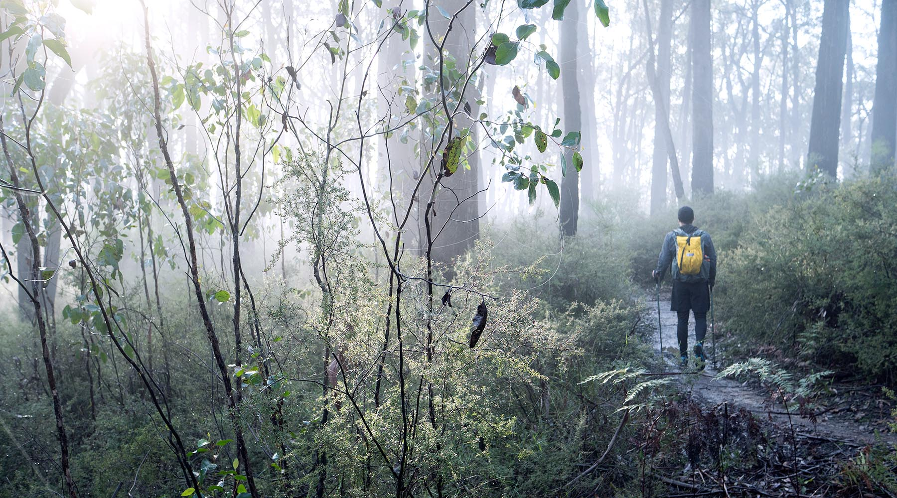A hiker walking through a foggy eucalyptus forest on an early. The bushwalker is carrying a yellow grey backpack made in Australia by OrangeBrown.