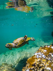 Wooli Turtle - Ben Aboody Photography