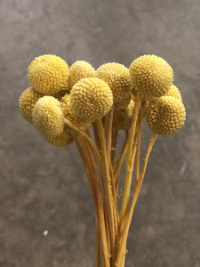 Billy Buttons Small - Yellow