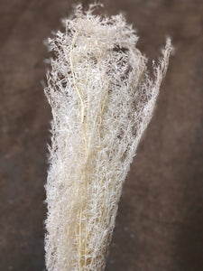 Asparagus Fern (Fox Tail Fern) - White Desiflora