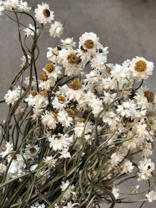 Chrysanthemums White (dried & preserved)