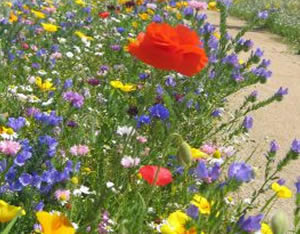 Guide to sowing flower meadows