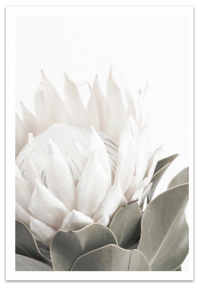 King White Protea