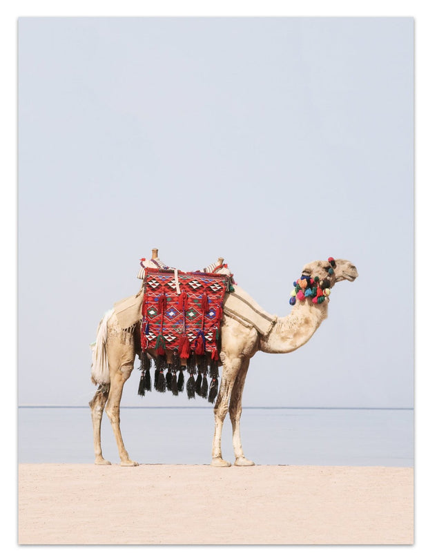 Camel on the move