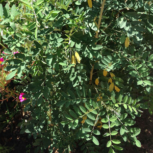 INDIGOFERA TINCTORIA - THE PLANT