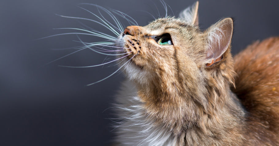 What Do Cats Use Their Whiskers For?