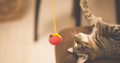 What Does A New Toy Mean For Your Cat?