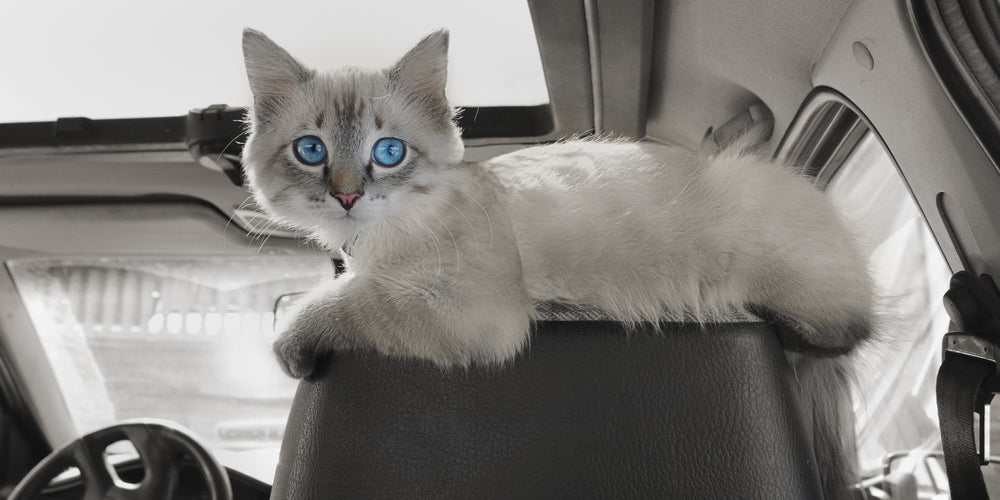 How To Get My Cat Comfortable With Riding In A Car?