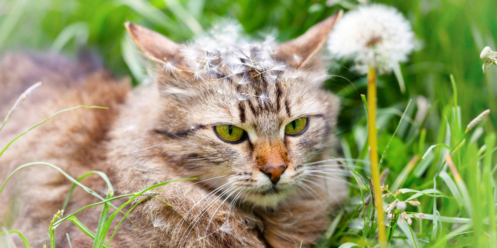 The benefits of Dandelion Leaf for Cats