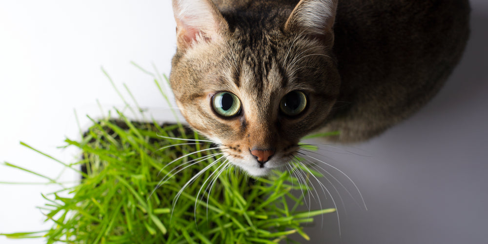 Benefits of Thyme for cats