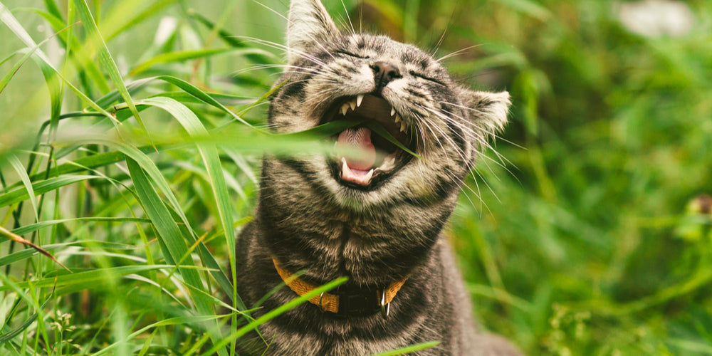 Don't Like Catnip? Discover the Benefits of Valerian for Cats!