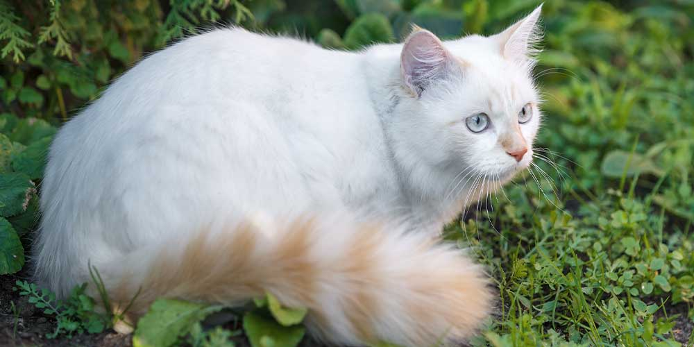 Turkish Van Rare Cat