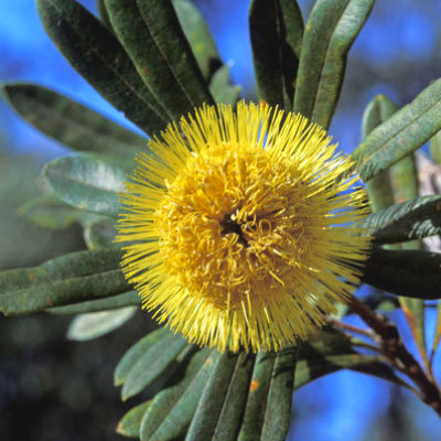 Banksia - The Living Urn Bio Urn