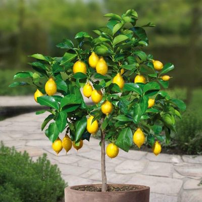Meyer Lemon Tree The Living Urn
