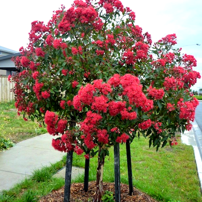 Corymbia Baby Gum - The Living Urn Bio Urn