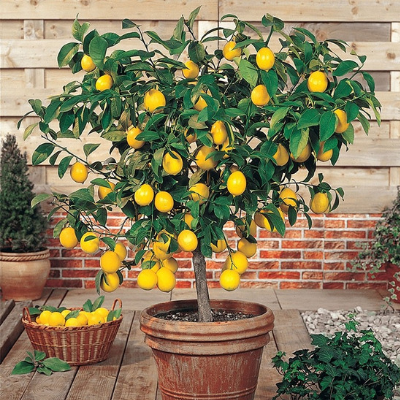Meyer Lemon Tree - The Living Urn Bio Urn