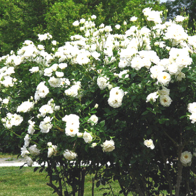 Bush Rose - The Living Urn Bio Urn