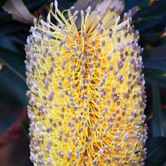 Banksia Integrifolia - The Living Urn Bio Urn