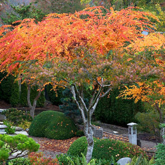 Coral Bark Maple - The Living Urn Bio Urn