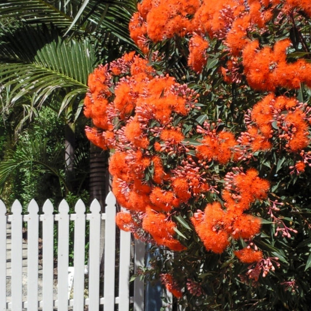 Corymbia Baby Gum (Orange) - The Living Urn Bio Urn